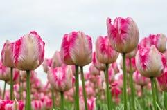 Schöne rosa und weiße Tulpen Rosa Tulpen im Garten Lizenzfreie Stockfotos