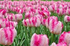 Schöne rosa und weiße Tulpen Rosa Tulpen im Garten Lizenzfreie Stockbilder