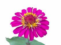 Schöne rosa Zinniablume lokalisiert auf weißem Hintergrund lizenzfreie stockbilder