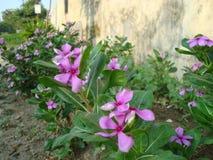 Schöne rosafarbene Blume Stockfotos