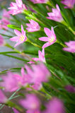 Schöne rosafarbene Blume nach dem Regenanschlag Lizenzfreie Stockfotografie