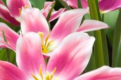 Schöne rosafarbene Blumen Stockfoto
