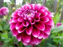 Schöne rosafarbene Dahlie stockfoto