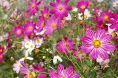 Schöne rosafarbene Glockenblumen Lizenzfreies Stockbild