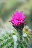Schöne rosafarbene Kaktusblume Stockbild