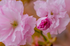 Schöne rosafarbene Kirschblüte lizenzfreies stockfoto
