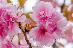 Schöne rosafarbene Kirschblüte stockfotografie
