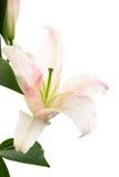 Schöne rosafarbene Lilie Stockfotos