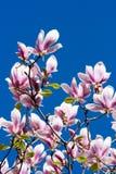 Schöne rosafarbene Magnolie-Blumen Lizenzfreies Stockbild