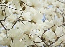 Schöne rosafarbene Magnolie-Blumen Lizenzfreie Stockbilder