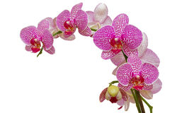 Schöne rosafarbene Orchidee getrennt auf Weiß Stockfotografie
