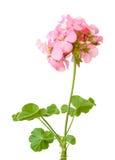 Schöne rosafarbene Pelargonie Stockfotografie