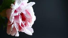 Schöne rosafarbene Pfingstrose