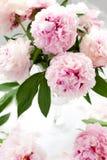 Schöne rosafarbene Pfingstrose Stockfotografie