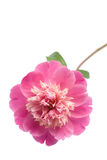 Schöne rosafarbene Pfingstroseblume getrennt Stockfotografie