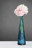 Schöne rosafarbene Pfingstroseblumen über Grau Stockbilder