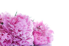 Schöne rosafarbene Pfingstrosen Stockbild