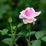 Schöne rosafarbene Rose Stockfoto
