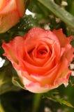 Schöne rosafarbene Rose Stockfotos