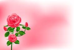 Schöne rosafarbene Rose Stockbilder