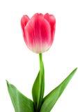 Schöne rosafarbene Tulpe getrennt auf Weiß Stockfotografie