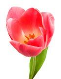 Schöne rosafarbene Tulpe trennte Lizenzfreies Stockbild