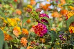 Schöne rosafarbene und orange Blumen Lizenzfreies Stockbild