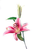 Schöne rosafarbene und weiße Blende getrennt auf weißem Hintergrund Stockfotografie