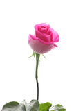Schöne Rosarose lizenzfreies stockbild