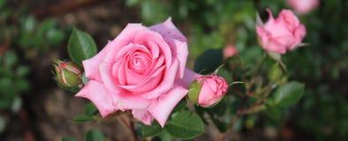 Schöne Rosarose auf einem Hintergrund des Gartens des grünen Grases im Frühjahr Stockbild