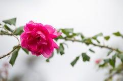 Schöne Rosarose auf Hintergrund unscharf Lizenzfreies Stockbild