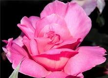 Schöne Rosarose blühte Stockbild
