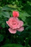 Schöne Rosarosenknospe nach Regen lizenzfreie stockfotos