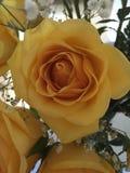 Schöne Rose Stockfotos