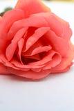 Schöne Rose Stockbild