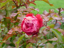 Schöne Rose stockbilder