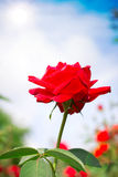 Schöne Rose im Freien Stockfoto