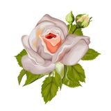 Schöne Rose lokalisiert auf Weiß Lizenzfreie Stockbilder
