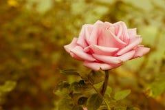 Schöne Rose Retro Lizenzfreie Stockfotos