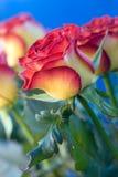 Schöne Rosen Stockfotografie