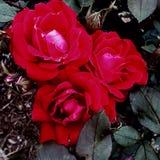 Schöne Rosen stockbild