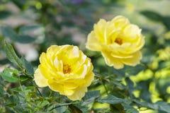 Schöne Rosen blühen und grünen Blatthintergrund im Garten Lizenzfreies Stockfoto