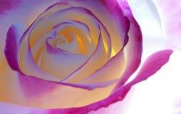 Schöne Rosen-Blumenblätter Stockfoto