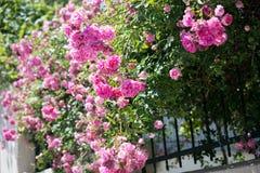 Schöne Rosen in der Natur stockfotografie