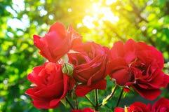 Schöne Rosen in Garten-ADN-Sonne Lizenzfreie Stockfotografie