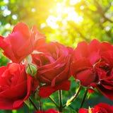 Schöne Rosen in Garten-ADN-Sonne Stockfoto
