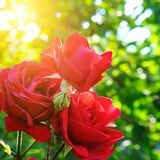 Schöne Rosen in Garten-ADN-Sonne Lizenzfreie Stockfotos
