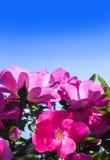 Schöne Rosen gegen blauen Himmel Stockfoto