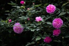 Schöne Rosen im schwarzen Hintergrund lizenzfreies stockfoto