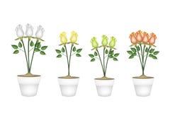 Schöne Rosen in vier keramischen Blumen-Töpfen Lizenzfreies Stockfoto